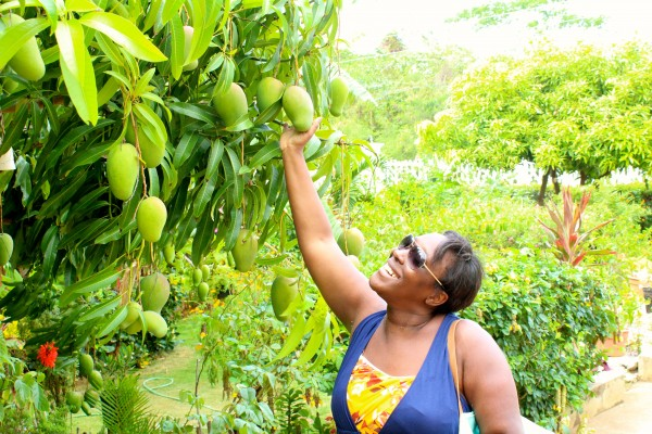Nikki picking mangoes